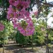 長命な花 「百日紅」が 満開です!