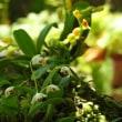 オサランの開花