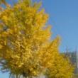 廻るもの 銀杏並木