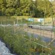 トマトの防鳥ネットの設置準備