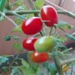 ◆トマトの収穫
