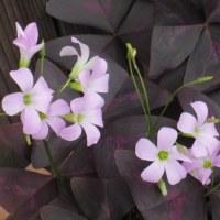 <オキザリス'紫の舞'> 三角形の濃い赤紫の葉が人気