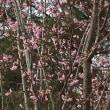 桜と犬                                          別荘バージョン