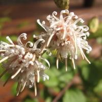 <コウヤボウキ(高野箒)> 枝先の白い花びらがくるりとカール