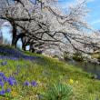 桜開花が早い。