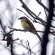 11/22探鳥記録写真-2(はまゆう公園の鳥たち:シロガシラほか)