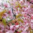 18/3/21 筒井池の河津桜