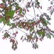 「病葉アート」 いわき 三島八幡参道にて撮影! ウコン桜の紅葉