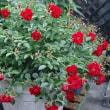 薔薇のシーズン