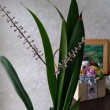 咲の部屋・・・今年も咲いた「幸福の木ドラセナ」