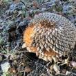 野鳥の餌・ヒマワリの種に霜柱が…☆彡