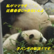 「アドベンチャーワールド」の子パンダ「彩浜」観てきました^^♪