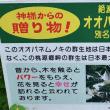神様からの贈り物 「オオバネムノキ」 その後 ~ 延岡市内でも見かけました。