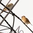 モエレの鳥たち 11/24 スズメのお宿