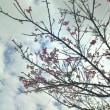いちばん桜