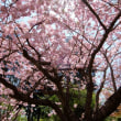 桜 -11-