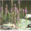 ミソハギ 〈水面を背景に〉