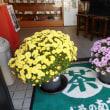菊の鉢植え・・・只今満開!お店で皆様をお迎えいたします。