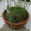 ホソネギ:家庭菜園