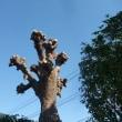 剪定後の木瘤