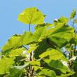 樹木ウォッチング冬から夏へ429キリ2
