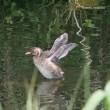 ちいさな翼 カイツブリ幼鳥