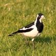 西オーストラリア パース探鳥ー12
