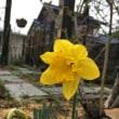 今日咲いた水仙