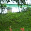 9月20日(水)  彼岸花(1)