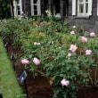 旧古河庭園のバラ・・1