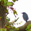 10/17探鳥記録写真(狩尾岬の鳥たち:イソシギ、クロサギ、イソヒョドリ、キセキレイほか)