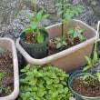 ささやかな野菜収穫!・・・家庭菜園 ミニトマト 紫トウガラシ