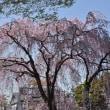 ☆都会の桜...♪
