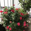 バラの花、満開