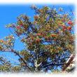 冬を彩る…(^^♪「金持ち」に通じるから縁起木として庭木として好まれる「クロガネモチ」