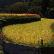 ヒガンバナ咲く水田