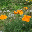 長実雛罌粟(ながみひなげし)の花