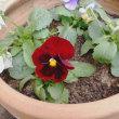 パンジーとミニバラを鉢植えにしました!