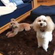 週末の蓼科は台風でした・・・寒くて引っ張り出したホットカーペットで、ソフィーとウインキーは大喜びです。