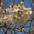 桜が咲き始めた