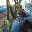 トマト畝の後片付けを開始。