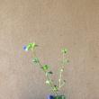 ツユクサの草もの盆栽