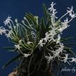 過去開花の富貴蘭「天晶」の花