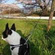 桜を見ながら散歩
