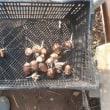 黄ニラを収穫しました