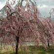 福島桜桃満開