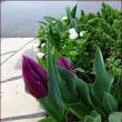 葉っぱも美しい花<今朝の庭3/22>