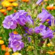 『季節の花』 カンパニュラ