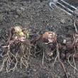 サトイモを掘りました。