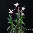 富貴蘭「花かんざし」の花